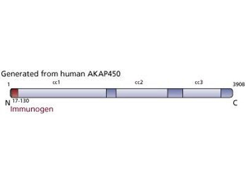 image for anti-AKAP9 antibody (A Kinase (PRKA) Anchor Protein (Yotiao) 9) (AA 17-130) (ABIN968571)
