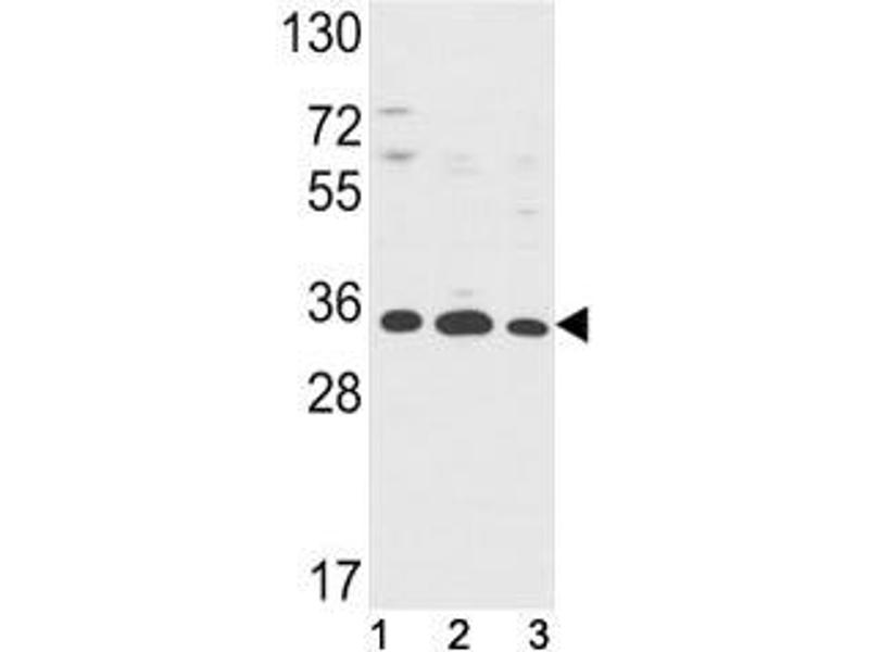 Western Blotting (WB) image for anti-Annexin A5 (ANXA5) (AA 1-30) antibody (ABIN3029976)