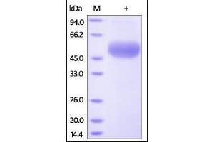 Image no. 1 for Tumor Necrosis Factor Receptor Superfamily, Member 11b (TNFRSF11B) (AA 22-401) protein (His tag) (ABIN2181847)