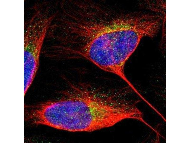 Immunofluorescence (IF) image for anti-PDCD6IP antibody (Programmed Cell Death 6 Interacting Protein) (ABIN4279376)