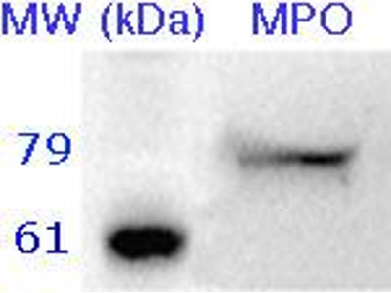 Western Blotting (WB) image for anti-Myeloperoxidase antibody (MPO) (ABIN350505)