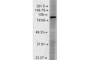 Western Blotting (WB) image for anti-Hyperpolarization Activated Cyclic Nucleotide-Gated Potassium Channel 3 (HCN3) (AA 660-779) antibody (Atto 488) (ABIN2483836)