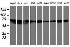 Image no. 2 for anti-Leucine Rich Repeat Containing 50 (LRRC50) antibody (ABIN1499205)
