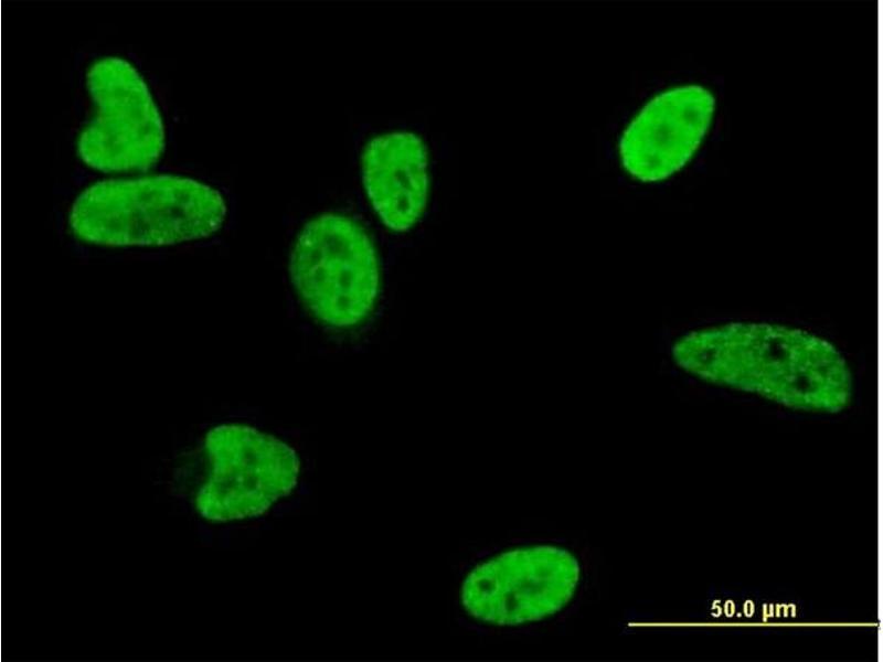 Immunofluorescence (IF) image for anti-BCL2-Associated X Protein (BAX) (AA 1-192), (full length) antibody (ABIN560036)