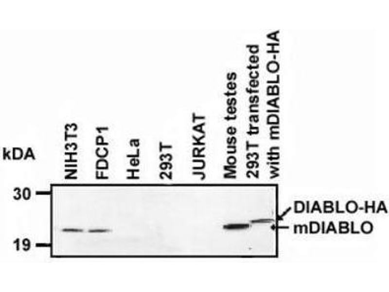 Western Blotting (WB) image for anti-Second Mitochondria-Derived Activator of Caspase (DIABLO) (AA 55-237) antibody (ABIN4354647)