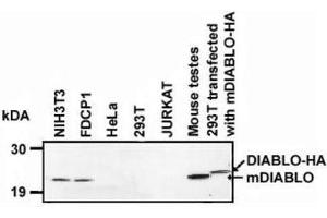 Western Blotting (WB) image for anti-DIABLO antibody (Second Mitochondria-Derived Activator of Caspase) (AA 55-237) (ABIN4354647)