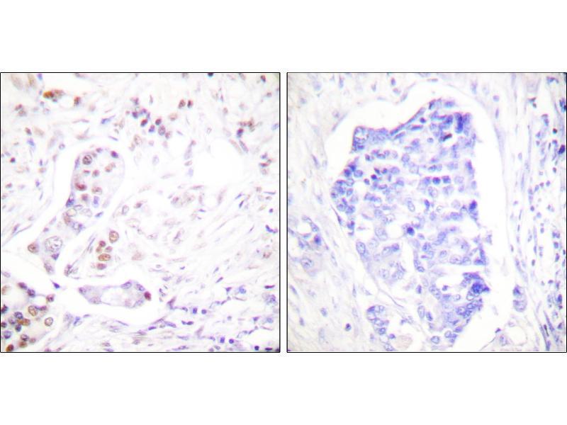 Image no. 1 for anti-Cyclin A1 (CCNA1) antibody (ABIN1575920)
