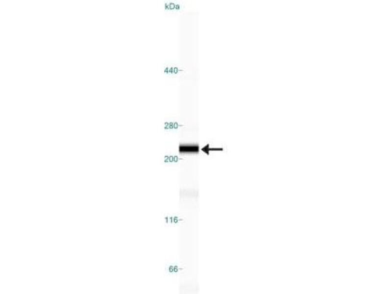 Simple Western (SimWes) image for anti-Nuclear Mitotic Apparatus Protein 1 (NUMA1) antibody (ABIN152988)