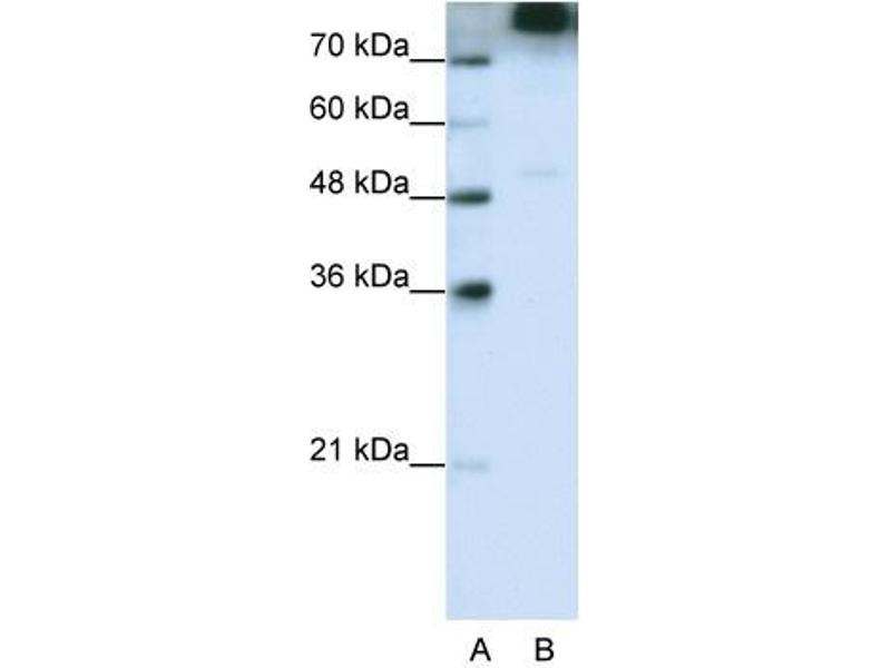 Western Blotting (WB) image for anti-Eukaryotic Translation Initiation Factor 3, Subunit B (EIF3B) (C-Term) antibody (ABIN183964)