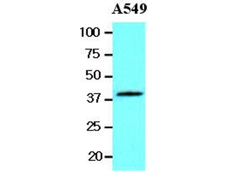 Western Blotting (WB) image for anti-WNT3A antibody (Wingless-Type MMTV Integration Site Family, Member 3A) (AA 19-352) (ABIN336096)