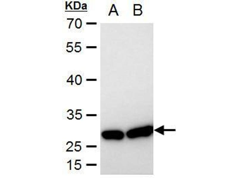 Western Blotting (WB) image for anti-HSPB1 antibody (Heat Shock 27kDa Protein 1) (Center) (ABIN2854951)