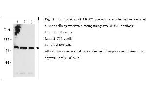 Image no. 1 for anti-Minichromosome Maintenance Complex Component 7 (MCM7) (AA 562-719) antibody (ABIN2452047)