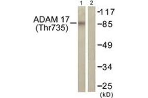 Image no. 1 for anti-ADAM Metallopeptidase Domain 17 (ADAM17) (AA 701-750), (pThr735) antibody (ABIN1531481)