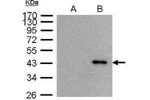 Immunoprecipitation (IP) image for anti-Brain and Reproductive Organ-Expressed (TNFRSF1A Modulator) (BRE) (Center) antibody (ABIN2856093)