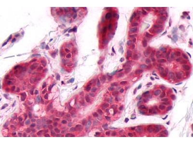 Immunohistochemistry (IHC) image for anti-Dual Specificity Phosphatase 26 (Putative) (DUSP26) (C-Term) antibody (ABIN1048527)
