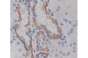 Image no. 3 for anti-GDNF Family Receptor alpha 1 (GFRA1) (AA 239-350) antibody (ABIN1171680)
