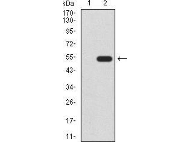 Western Blotting (WB) image for anti-WNT3A antibody (Wingless-Type MMTV Integration Site Family, Member 3A) (AA 170-352) (ABIN5542546)