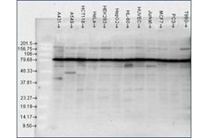 image for anti-Heat Shock Protein 90kDa alpha (Cytosolic), Class B Member 1 (HSP90AB1) antibody (ABIN264851)