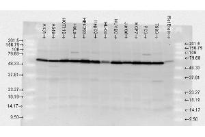 Western Blotting (WB) image for anti-Heat Shock Protein 70 (HSP70) (full length) antibody (Atto 565) (ABIN2486665)