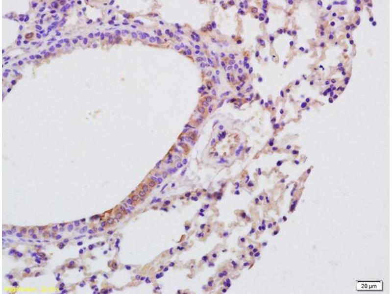 Immunohistochemistry (IHC) image for anti-Interleukin 9 (IL9) (AA 20-60) antibody (ABIN740130)
