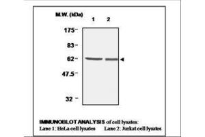 image for anti-Thioredoxin Reductase 1 (TXNRD1) antibody (ABIN333033)