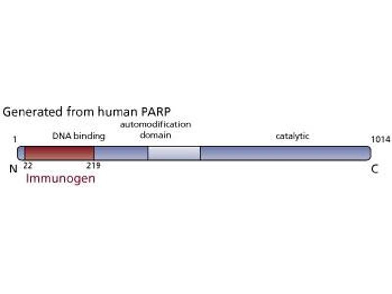 image for anti-PARP (AA 22-219) antibody (ABIN968333)