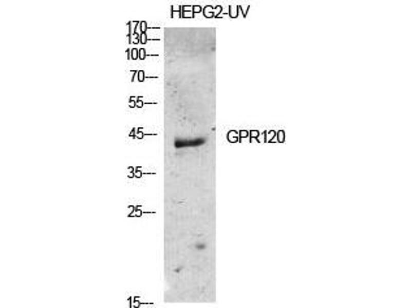 Image no. 2 for anti-omega-3 Fatty Acid Receptor 1 (O3FAR1) (Internal Region) antibody (ABIN3184844)