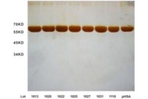 Image no. 2 for Human Serum Albumin (HSA) protein (ABIN488498)
