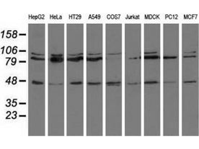 Western Blotting (WB) image for anti-CD80 antibody (CD80) (ABIN2452902)