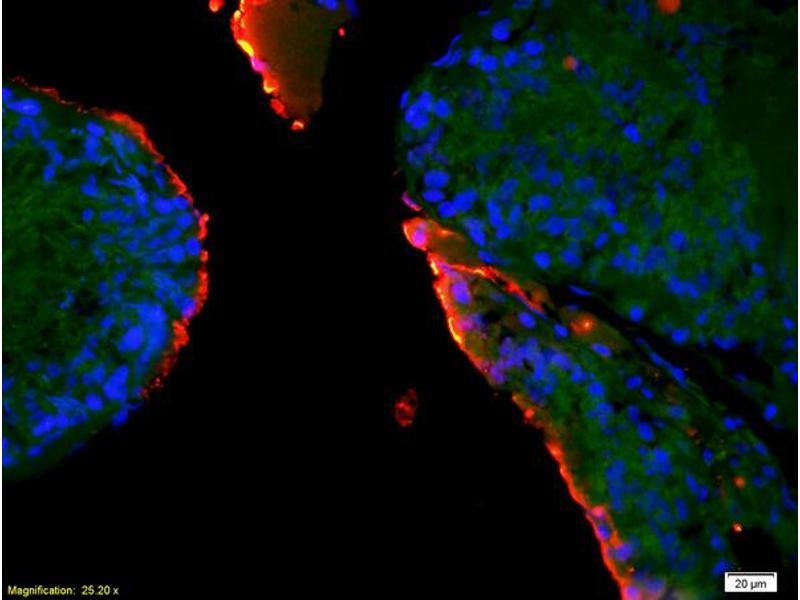 Immunofluorescence (IF) image for anti-EPH Receptor A10 Antikörper (EPHA10) (AA 150-200) (ABIN1714266)