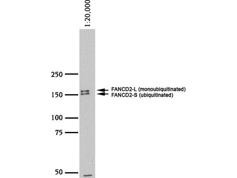 Western Blotting (WB) image for anti-Fanconi Anemia, Complementation Group D2 (FANCD2) (N-Term) antibody (HRP) (ABIN250521)