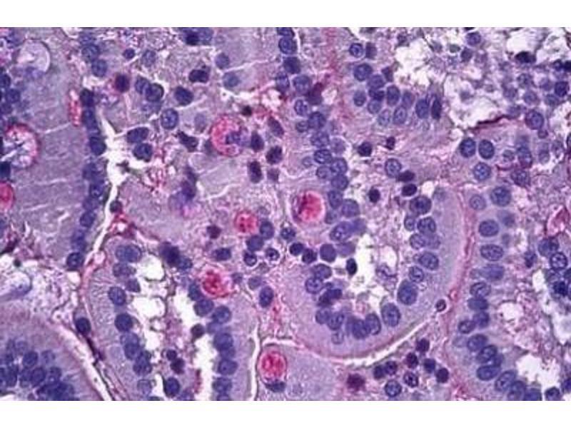 Immunofluorescence (Paraffin-embedded Sections) (IF (p)) image for anti-Netrin 1 (NTN1) (C-Term) antibody (ABIN4338686)