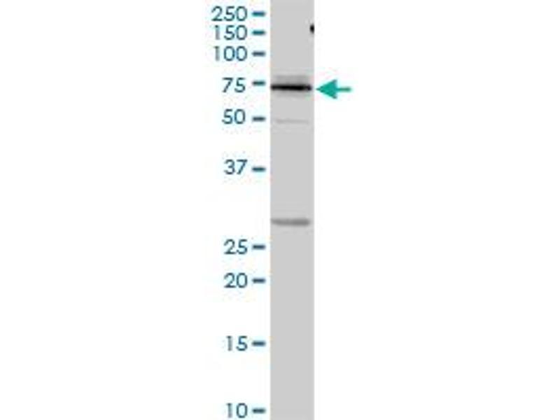Western Blotting (WB) image for anti-Kininogen 1 (KNG1) (AA 1-427), (full length) antibody (ABIN517360)