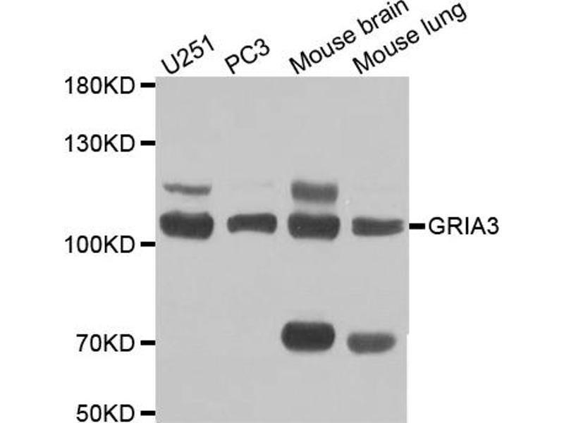 Image no. 1 for anti-Glutamate Receptor, Ionotropic, AMPA 3 (GRIA3) antibody (ABIN6567185)