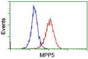 Image no. 3 for anti-Membrane Protein, Palmitoylated 5 (MAGUK P55 Subfamily Member 5) (MPP5) antibody (ABIN1500023)
