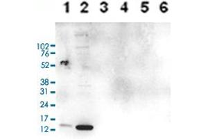 Image no. 6 for anti-Histone Cluster 1, H3a (HIST1H3A) (2meArg17 (asymetric)), (acLys18) antibody (ABIN5773856)