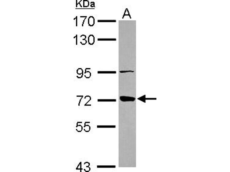 Western Blotting (WB) image for anti-ATP-Binding Cassette, Sub-Family B (MDR/TAP), Member 10 (ABCB10) (AA 487-726) antibody (ABIN557383)