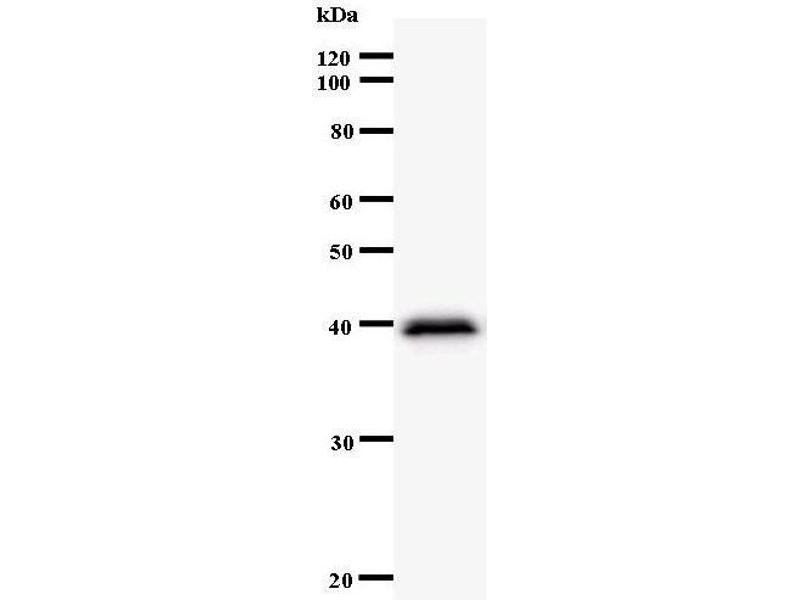 Western Blotting (WB) image for anti-Chloride Channel, Nucleotide-Sensitive, 1A (CLNS1A) antibody (ABIN933127)