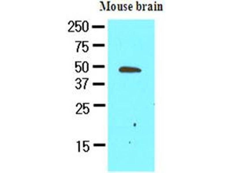 Western Blotting (WB) image for anti-Growth Arrest-Specific 7 (GAS7) (AA 1-416), (N-Term) antibody (ABIN371875)