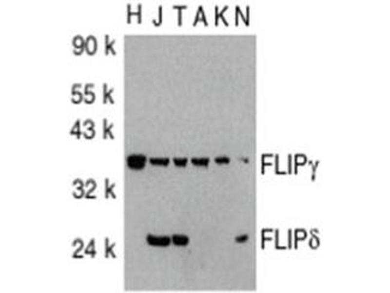 image for anti-CASP8 and FADD-Like Apoptosis Regulator (CFLAR) (AA 191-209), (C-Term) antibody (ABIN318973)