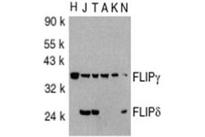 image for anti-CASP8 and FADD-Like Apoptosis Regulator (CFLAR) (AA 191-209), (C-Term) antibody (ABIN318973)