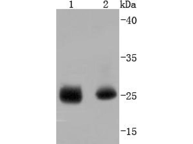 Western Blotting (WB) image for anti-Heat Shock 27kDa Protein 1 (HSPB1) (pSer78) antibody (ABIN5557490)