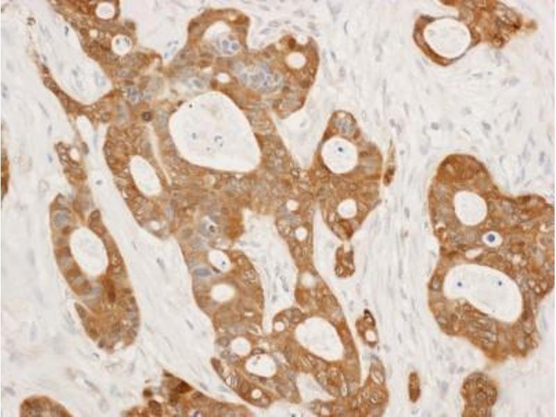 Immunocytochemistry (ICC) image for anti-Stratifin (SFN) (AA 198-248) antibody (ABIN4276701)