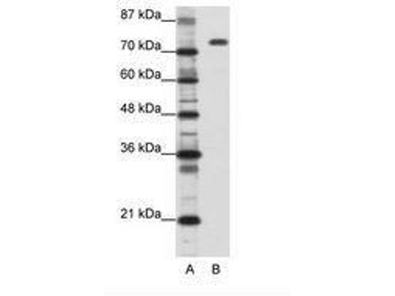 image for anti-Nucleolin (NCL) (C-Term) antibody (ABIN202879)