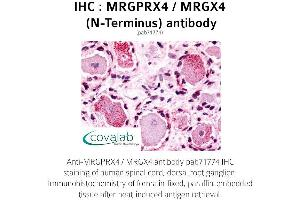 Image no. 1 for anti-MAS-Related GPR, Member X4 (MRGPRX4) (Extracellular Domain), (N-Term) antibody (ABIN1737080)