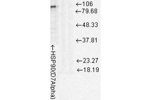 Western Blotting (WB) image for anti-HSP90 antibody (Heat Shock Protein 90) (ABIN361793)