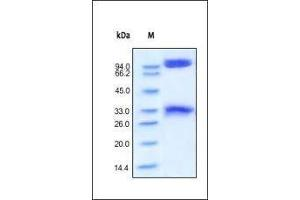 Image no. 1 for Beta-secretase 1 (BACE1) (AA 22-457) protein (Fc Tag) (ABIN2180631)