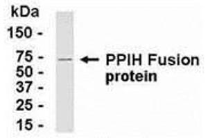 Image no. 1 for anti-Peptidylprolyl Isomerase H (Cyclophilin H) (PPIH) (AA 1-177) antibody (ABIN2468026)
