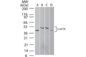 Image no. 1 for anti-5-Hydroxytryptamine (serotonin) Receptor 7 (Adenylate Cyclase-Coupled) (HTR7) (N-Term) antibody (ABIN6658112)