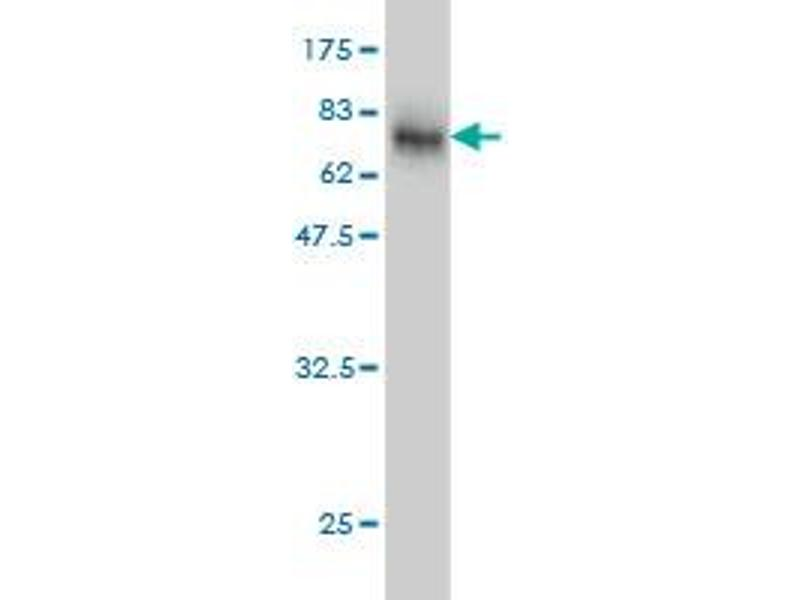 Image no. 4 for anti-Endoplasmic Reticulum Protein 44 (ERP44) (AA 30-406) antibody (ABIN565003)